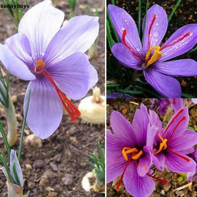 Home Garden Plant Saffron Bulbs Crocus Sativus Flower Seeds RR3 04