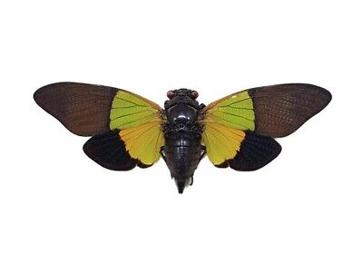 One Real Trengganua Sibylla Green Gold Black  Cicada Mounted Packaged Malaysia
