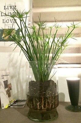 Cyperus Umbrella Pond marginal Plant! Indoor plant or outdoor, can grow to 6ft!