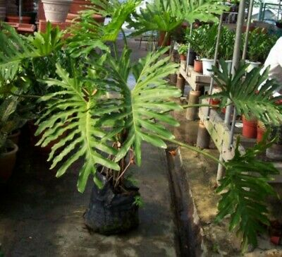 Evergreen Philodendron tree. A type of Climber. Ideal houseplant or patio plant