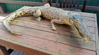 Authentic Vintage/antique taxidermy crocodile - make an offer