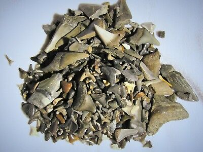 100 fossil shark teeth lot