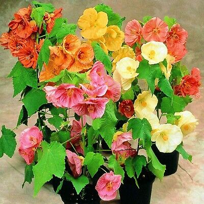 FLOWERING MAPLE Abutilon Hybridum mix - 50+ SEEDS