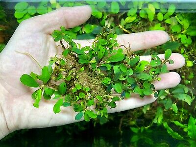 Bucephalandra sp. Brownie Blue WYSIWYG - Rare Live Aquarium Plants Freshwater