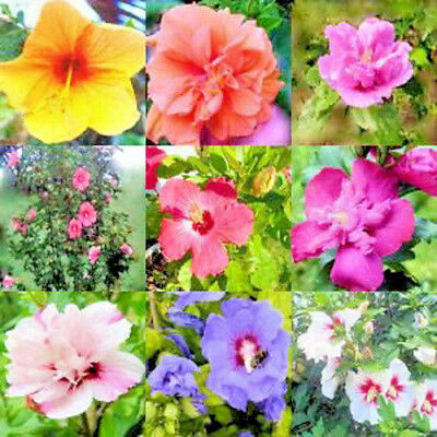 Rose Of Sharon Hibiscus Syriacus Althea 50 Seeds Mixed Colors Bush