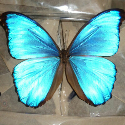 COLECTION unmounted butterfly Morphidae BLUE MORPHO DIDIU PERU #8