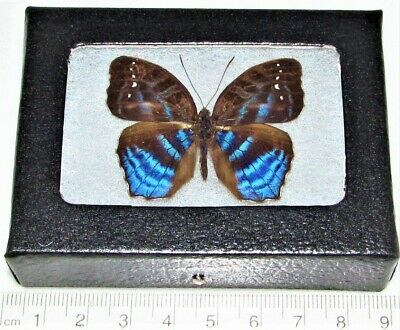 Real Framed Butterfly Blue Cinandra Opis Africa