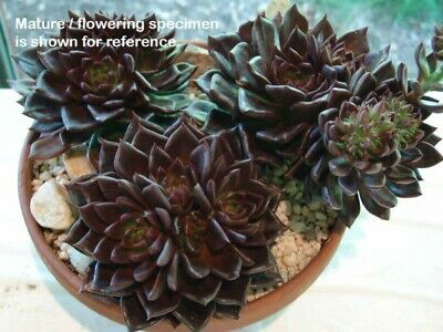 "2""4""6"" Echeveria Black Prince with Pot Rooted Succulent rare live plant Cactus"