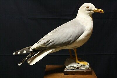 Taxidermy-hunting-chasse-präparat- Yellow-legged Gull with permit