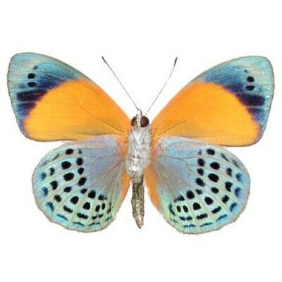 One Real Butterfly Blue Green Orange Asterope Markii Davisi Verso Wings Closed