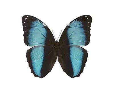 One Real Butterfly Blue Black Morpho Patroclus Orestes Unmounted Wings Closed