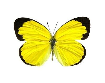 One Real Butterfly Yellow Black Eurema Hecabe Africa Unmounted Wings Closed