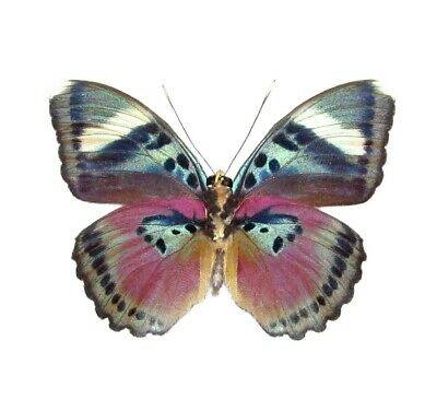 One Real Butterfly Pink Euphaedra Verso Africa Unmounted Wings Closed