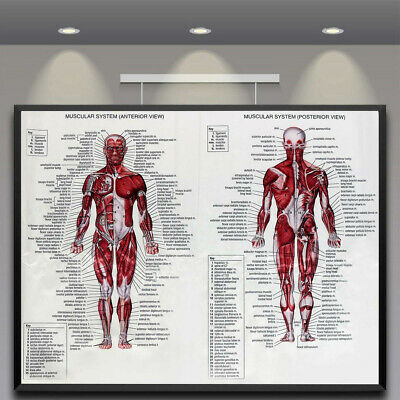 Silk Cloth Muscle System Posters  60x80cm Mural Decoration Educational Human