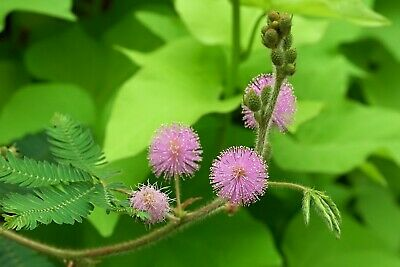 50 graines de Mimosa pudica / Plante sensitive - seeds - semillas