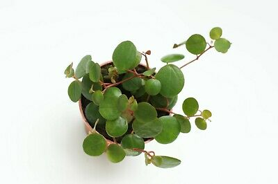 Peperomia Pepperspot HousePlant Indoor plant