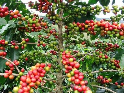 20 Graines Coffea Arabica Caféier Coffee seeds