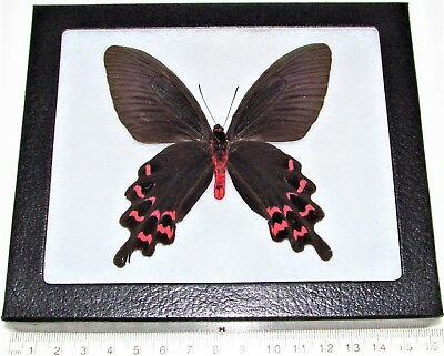 Real Framed Butterfly Pink Red Atrophaneura Laos Rare