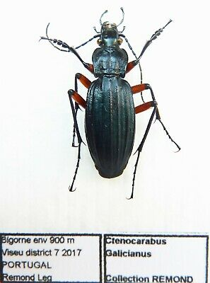 Carabus ctenocarabus galicianus (male A1) from PORTUGAL (Carabidae)