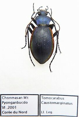 Carabus tomocarabus caustomarginatus (female A1) from KOREA (Carabidae)