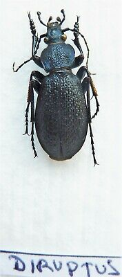 Carabus pagocarabus crassesculptus diruptus (male A1) from CHINA (Carabidae)