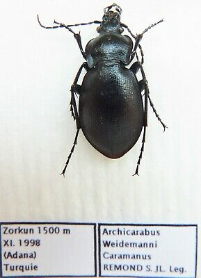 Carabus archicarabus gotschi caramanus (female A1) from TURKEY