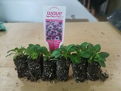 PETUNIA WAVE PLUG PLUM PUDDING~ Plugs/seedlings FREE SHIPPING!
