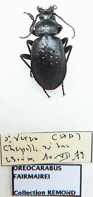 Carabus oreocarabus fairmairei (male A1 (was pinned)) from FRANCE