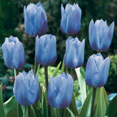 Blue Tulip Bulbs Beautifying Flower Plant Fresh Bouquet House Garden Indoor Out