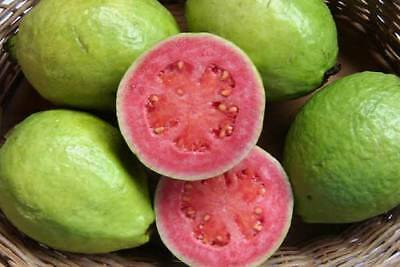 Pink Guava Tree Live Plant Potted 3-5 Inch Tropical Fruit 1 Year Old from Seed