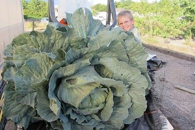 Giant cabbage seed Giant Veg