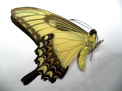 unmounted butterfly PAPILIO LYCOPHRON