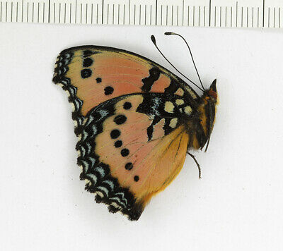 Precis octavia sesamus Nymphalidae butterfly from South Africa papered