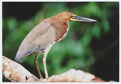 """A 6x4"""" photograph of a Bittern or Heron maybe(?) bird on Fujifilm paper"""