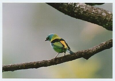 """A 6x4"""" photograph of a Paradise Tanager maybe(?) bird on Kodak paper"""