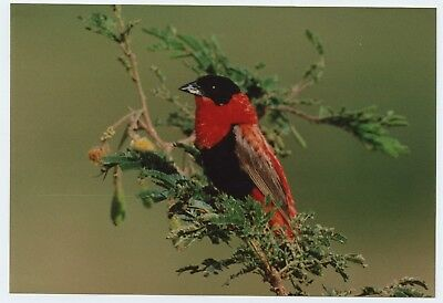 """A 6x4"""" photograph of a Northern Red Bishop maybe(?) bird on Kodak paper"""