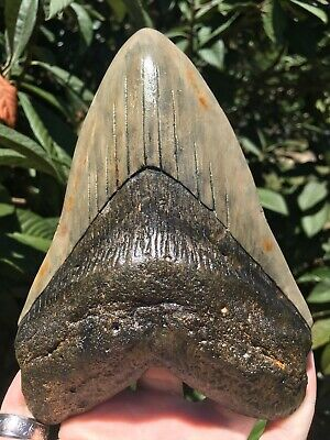 "Huge Massive Colorful 6.38"" Megalodon Tooth Fossil Shark Teeth Weighs Over 1 Lb"