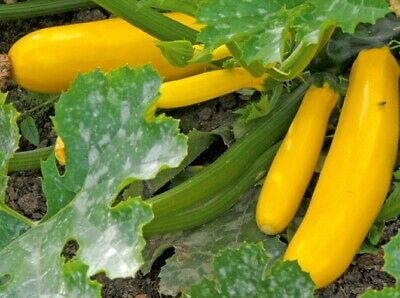 J&L FRENCH heirloom SUMMER SQUASH GOLDEN ZUCCHINI COURGETTE 10 organic SEEDS