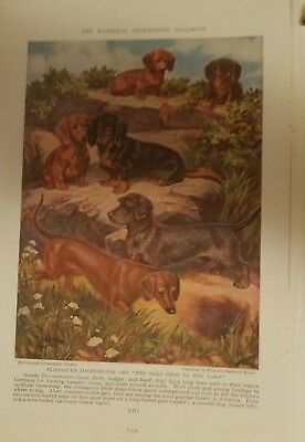 EH Miner Smooth Wire & Longhaired Dachshund bookplate 1937 National Geographic