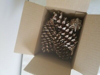 Pine cones 6 inch or more, box of 8