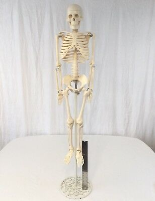 "Medical Human Anatomical Anatomy Model Skeleton 33"" w/ Filigree Cast Iron Base"