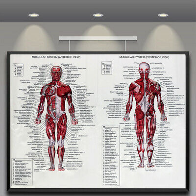 Human Body Muscle Anatomy System Poster Anatomical Chart Educational Poster  !
