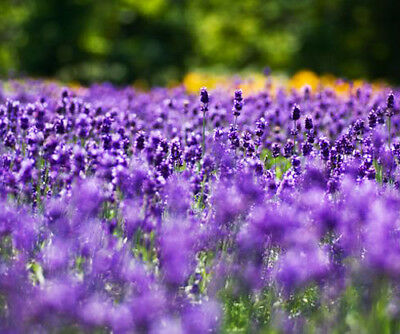 Bulk Seed 400 Purple Lavender Seeds Angustifolia For Garden Home seeds S033