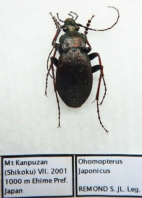 Carabus ohomopterus japonicus (male A1) from JAPAN (Carabidae)