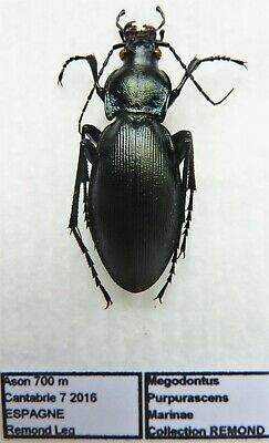 Carabus megodontus purpurascens marinae (female A1) from SPAIN (Carabidae)