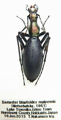 Carabus damaster blaptoides rugipennis (male A1) from JAPAN (Carabidae)