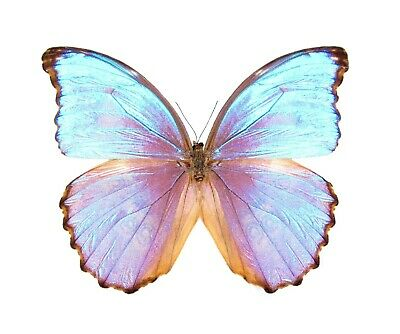 One Real Butterfly Blue Purple Morpho Godarti Asarpai Peru Wings Closed