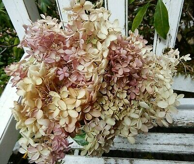 16 Dried P G Hydrangea Cream, Green + Pink  Wedding, Primitive Bouquets, Craft