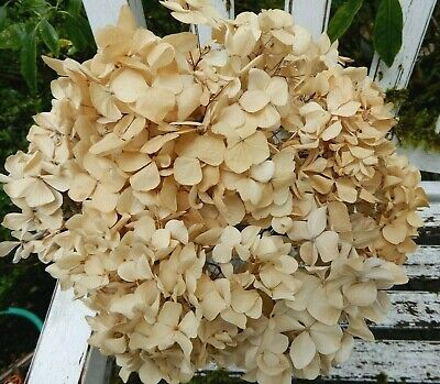 8 Dried Hydrangea Flowers Antique Golden Cream Weddings Primitives  Farmhouse