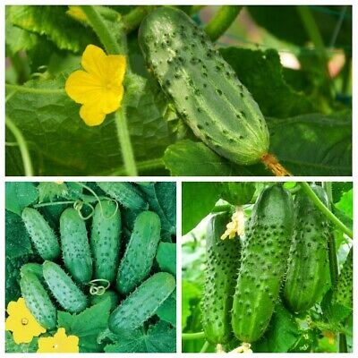 Seeds Cucumber Mini Titus F1 Bush Gherkin Early Rare Pickling Vegetable Organic